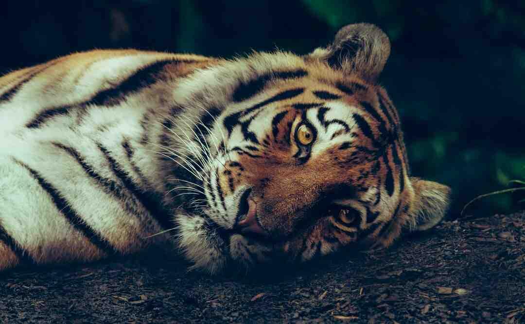 Comment survivre à une attaque de tigre